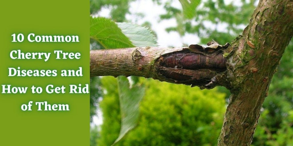 10 Common Cherry Tree Diseases And How To Get Rid Of Them Treillageonline Com